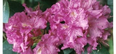 Rododendri, viršaugi - Katalogs - stadi-sakstagals.lv
