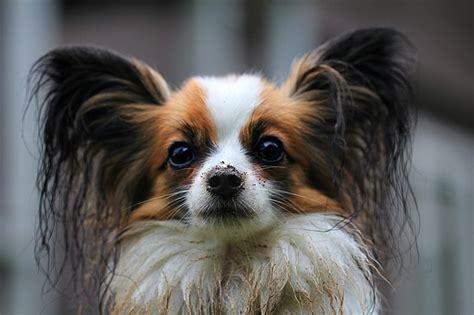 small dog breeds   highly intelligent dog vills