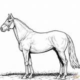 Horse Coloring Pages Stallion Printable Horses Print Sheets Para Clipart Only Categories Magic sketch template