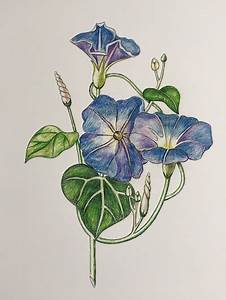 drawing morning glories in colored pencils avenue