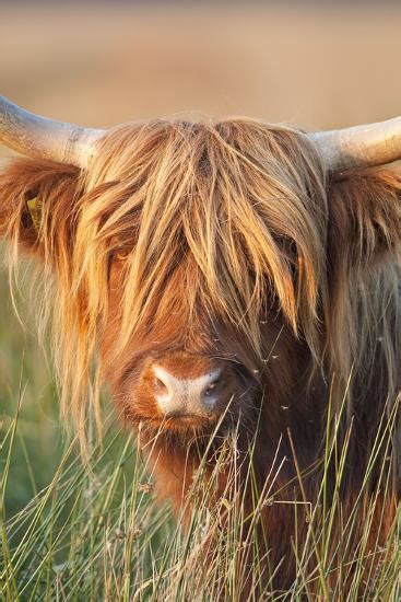 highland cattle photographic print  allposterscom