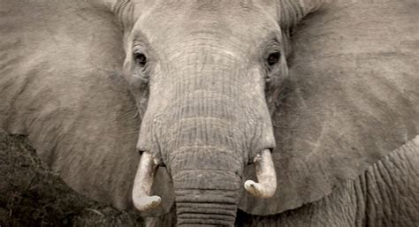 charging elephant  photographer tina broccoli power