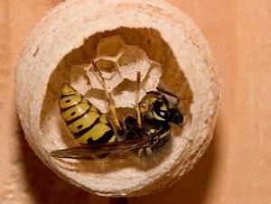 Wie Vertreibe Ich Wespen : wespe im natur lexikon ~ Orissabook.com Haus und Dekorationen