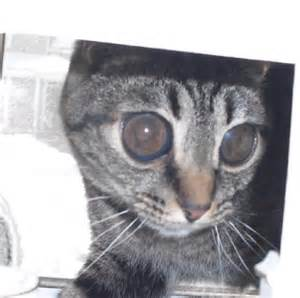 how to tell if a cat is blind lost nearly blind cat michigan humane society