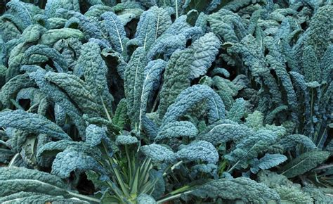 dino kale shop dinosaur kale lacinato and other seeds at harvesting history