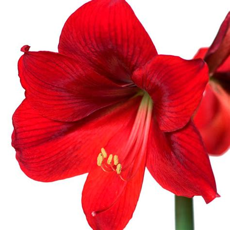 amaryllis care amaryllis indoors hippeastrum hybrid my garden life