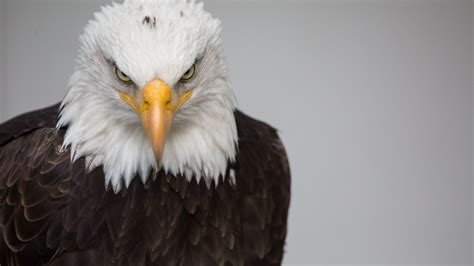 eagle white brown  hd wallpapers hd wallpapers id