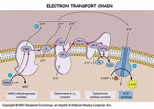 Avonapbio    Electron Transport Chain