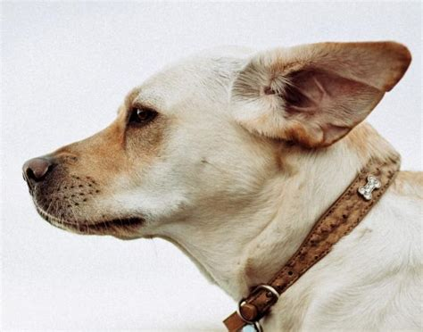 home remedies  dog ear infection