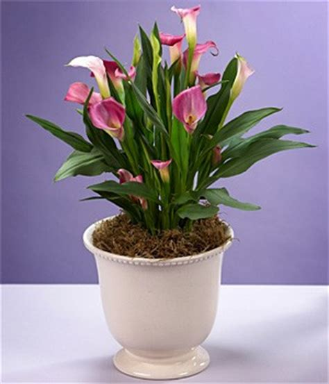 how to care for lilies indoors calla lily plant care guide