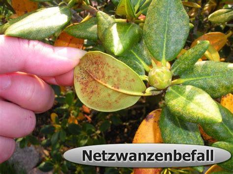 rhododendron braune flecken rhododendron pflegetipps schneiden pflanzen krankheiten