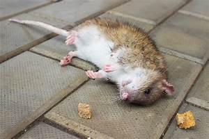 Comment Se Débarrasser Des Souris Dans Une Maison : poison souris rongeurs comment se d barrasser des souris dans votre maison soumissions ~ Nature-et-papiers.com Idées de Décoration
