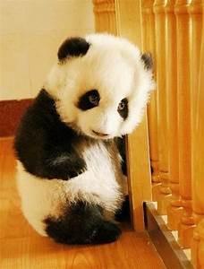 Baby Panda - cutest thing ever | strange but true ...