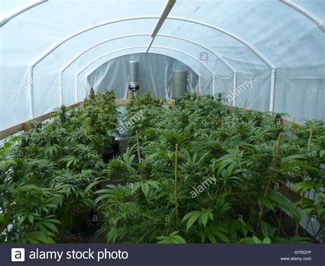Illegal Marijuana Plantation Stock Photo, Royalty Free