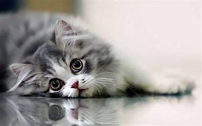Cat Desktop Funny Wallpapers Tablet