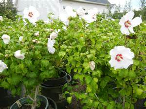 Rose of Sharon Bush Tree