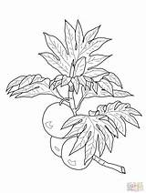 Breadfruit Coloring Pages Drawing Branch Lei Printable Fruits Maile Grapefruit Drawings Ulu Bleach Supercoloring Print Getdrawings Hula Branches Dancer Categories sketch template