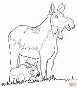 Moose Coloring Cow Calf Pages Drawing Funny Printable Draw Antler Getdrawings Head sketch template