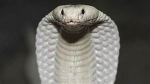 White Cobra That Roamed Thousand Oaks Goes on Exhibit at ...