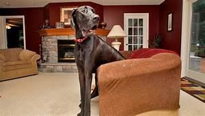 Zeus, World's Tallest Dog, Dies at Age 5 - ABC News
