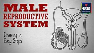 How To Draw Male Reproductive System In Easy Steps