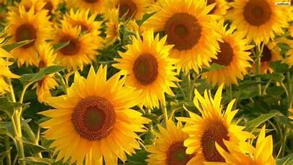 Desktop Aesthetic Plant Wallpapers Sunflower Backgrounds Wallpaperaccess