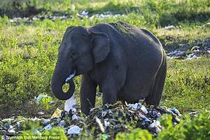 Elephants seen eating rubbish at dump site in India ...