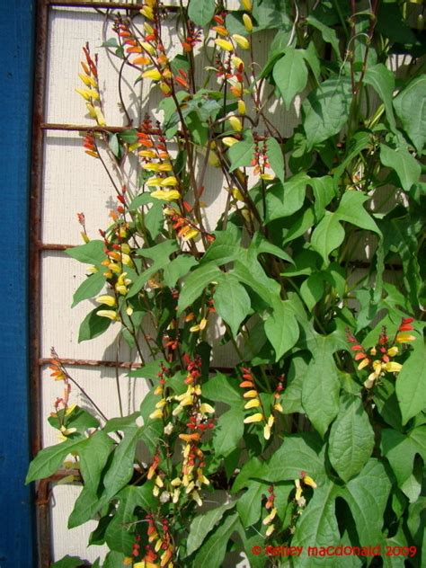 plantfiles pictures spanish flag firecracker vine
