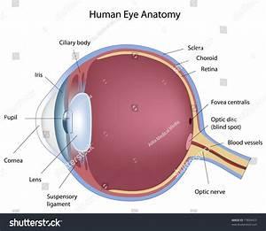 Anatomy Human Eye Stock Illustration 77804425