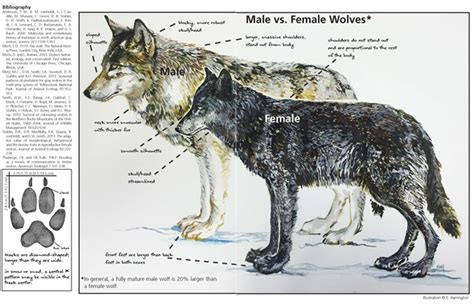 ys   yellowstone wolf facts yellowstone national park