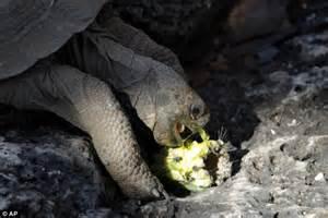 On The Road To Recovery Darwinu002639s Galapagos Tortoise