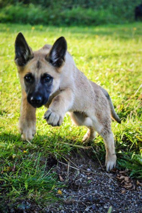 month   big    german shepherd dog