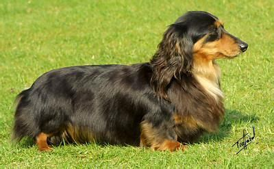 chihuahua daschund long hair mix google search chiuaua
