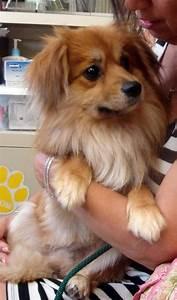 Cavalier King Charles Spaniel Pomeranian Mix