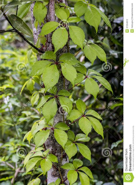 Tree Trunk With A Climbingplant Stock Photo  Image Of