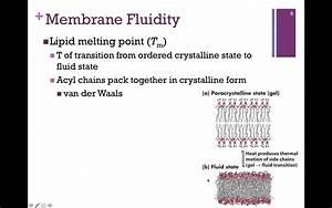 054-lipid Bilayer  U0026 Membrane Fluidity