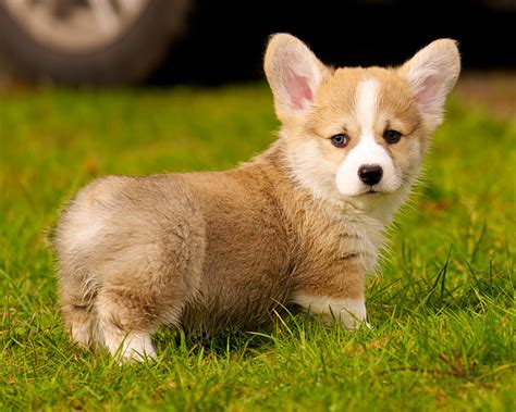 10 Best Corgi Dog Names