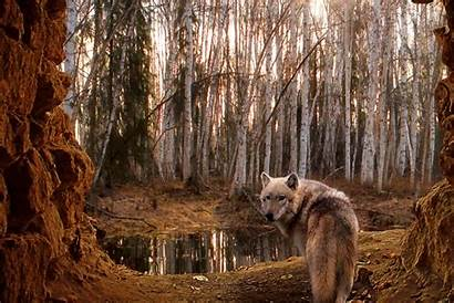 Wolf Forest Wallpapers Animals Cave Animal Nature