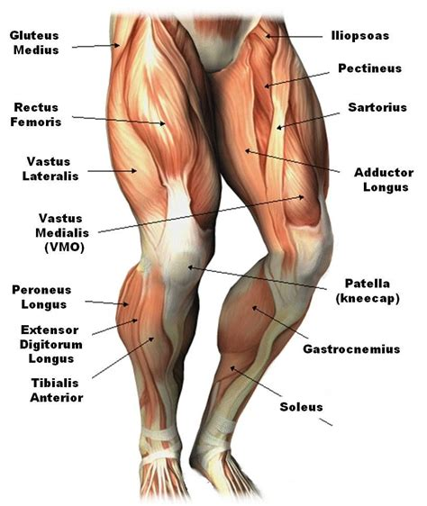 Rear view of female hip and leg muscles with labels. Leg Muscle Diagram Anatomy Of The Thigh Very Best Example ...