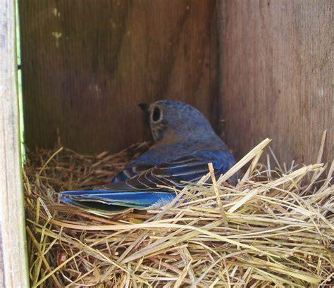 nesting bluebird eastern bluebirds pinterest