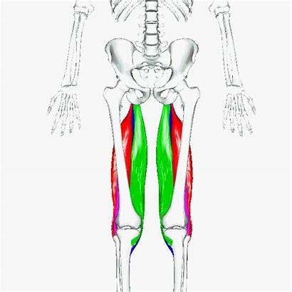 Muscles Hamstrings Leg Curls Hamstring Wikimedia Lower