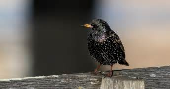 vernon chalmers photography common starling