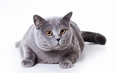 Shorthair British Cat Fat Cats Short Hair