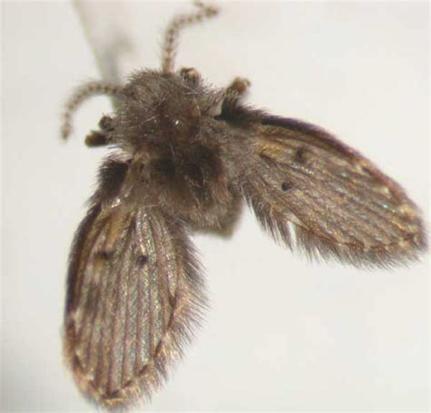 mothdrain fly insect id