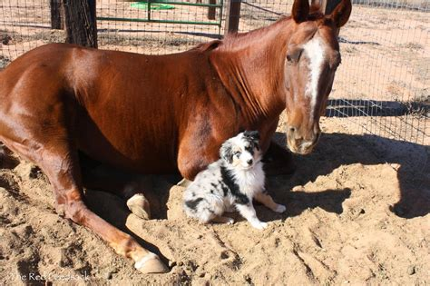 horse dog belle farm december pup australian shepherd ever horses dogs puppy promise friendships named moos monthly 2329