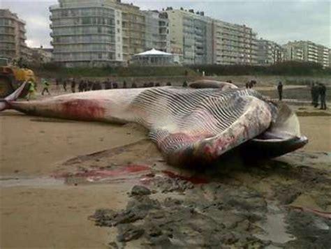 portfolio une baleine de 18 m 232 tres s 233 choue aux sables d