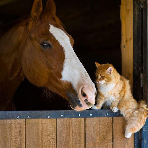 Cat Loving His Horse - Pet Trending