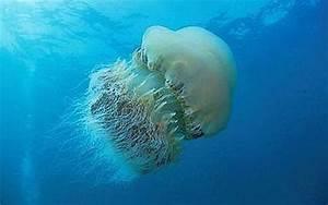 Giant Jellyfish Capsize 10-Ton Fishing Boat
