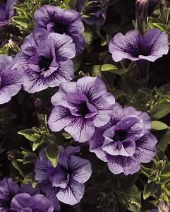 supertunia priscilla petunia hybrid proven winners