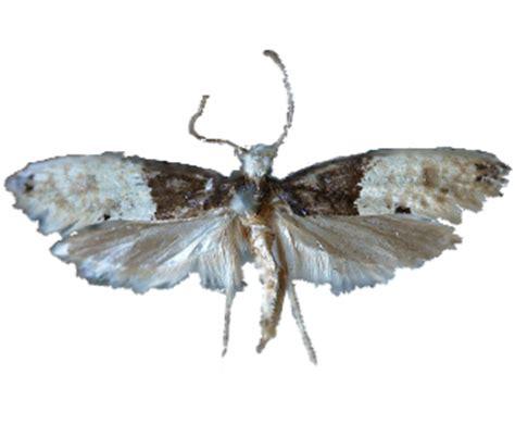 tarme dei tappeti tarme insetti dei tessuti e tappeti rentokil italia